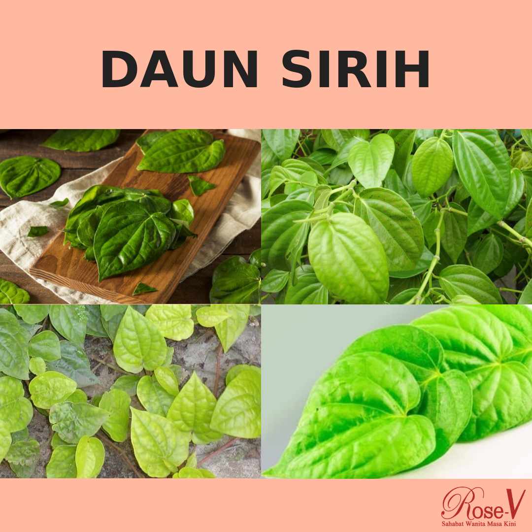Tanaman Herbal Daun Sirih