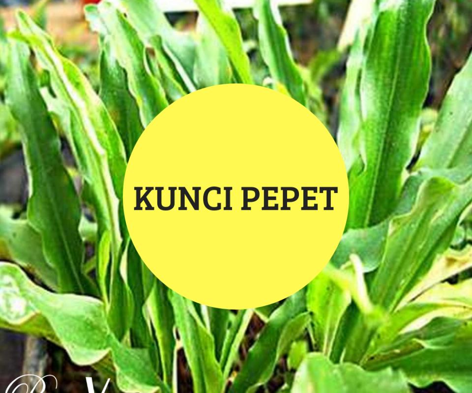 Tanaman Herbal Kunci Pepet