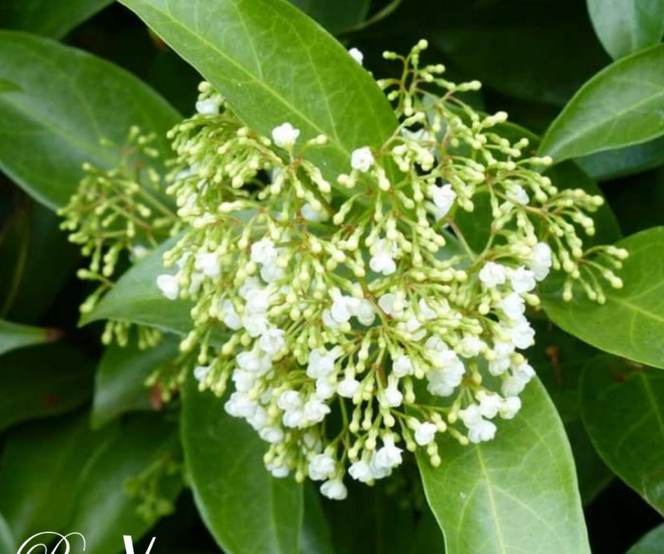 Tanaman Herbal Kayu Rapet